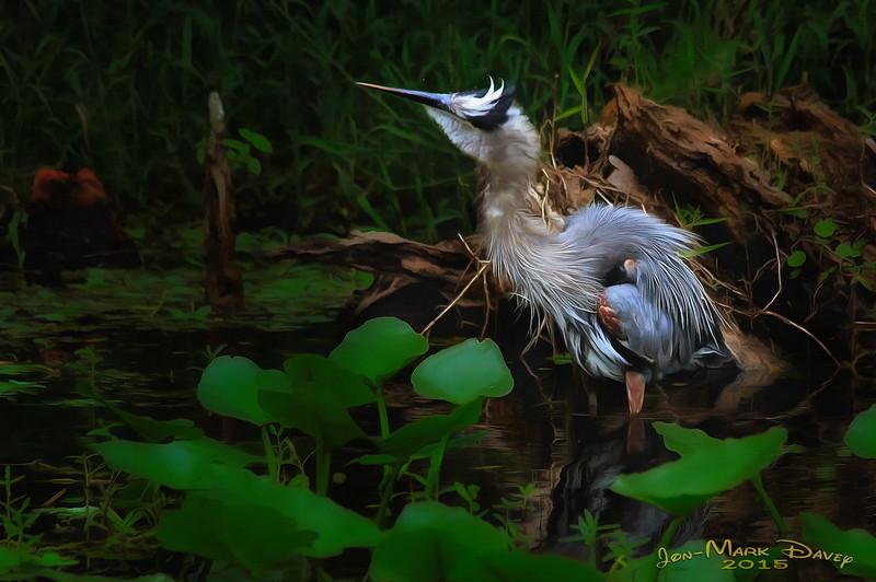 Great Blue Heron of Hontoon Island
