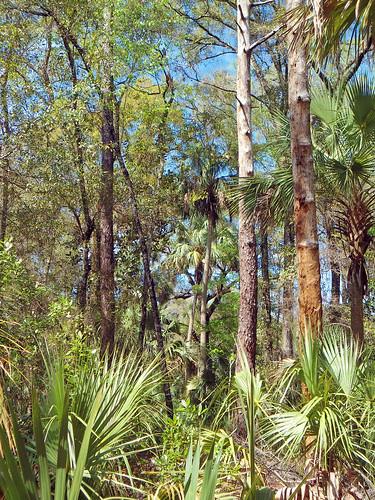 landscape woods forest trees palmtrees brush park crystalriver florida