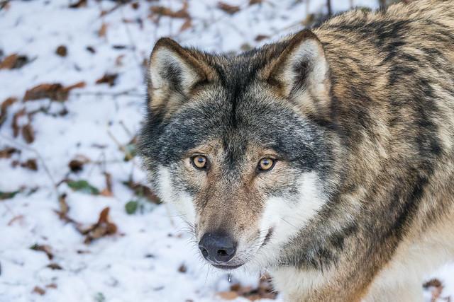 Wolf - Tierpark Olderdissen