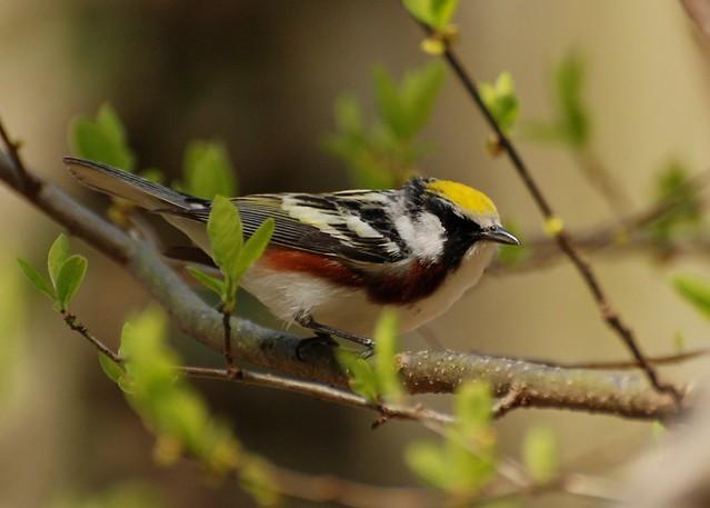 Chestnut-sided Warbler (DSC_3942)
