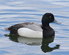 Scaup by Mark_Coates