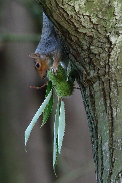 Sweet chestnut for tea