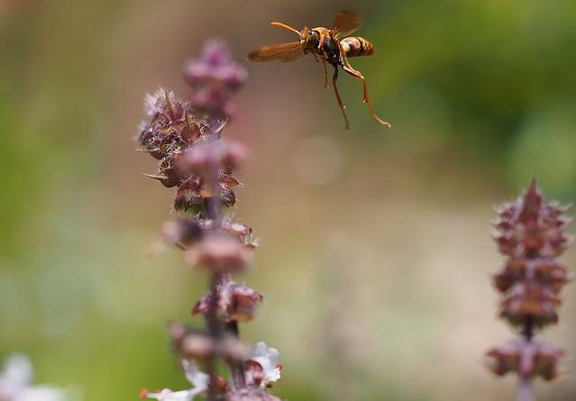 Paper Wasp - polistes humilis