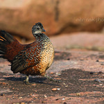 Painted Spurfowl - Male