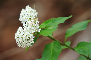 Texas Milkweed Asclepias texana_St Edwards Pk_Travis_TX_060913b | by rkostecke