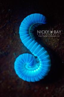 Millipede under UV light (Diplopoda) - DSC_8981 | by nickybay