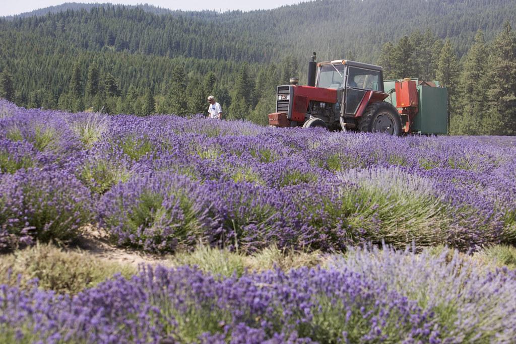 St Maries Lavender Farm Idaho Lavender Harvest Young Living Essential Oils Flickr