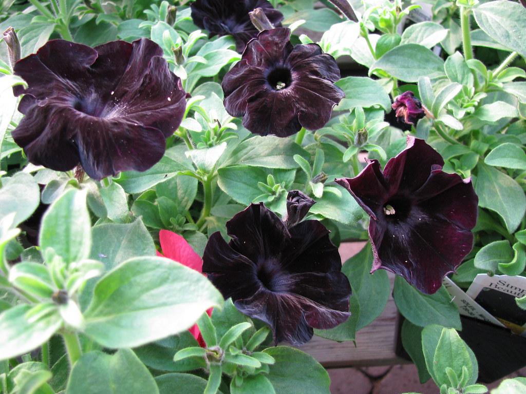 Petunia Black Velvet   Serres Fortier   Flickr