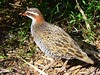 A Buff-banded Rail. by The Pocket Rocket, On and Off.