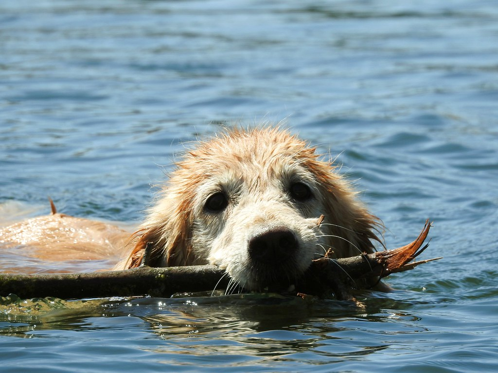 Older Dog in Action, Golden Retriever Lab Mix   Swimming ...