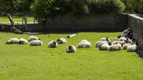 ireland food wool work europe tour sheep farm farming sightseeing tourist lamb production livestock grazing laois abbyleix