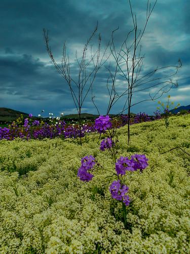 flowers canada britishcolumbia okanagan roadside vernon stormclouds martinsmith ©martinsmith nikoncoolpixl32