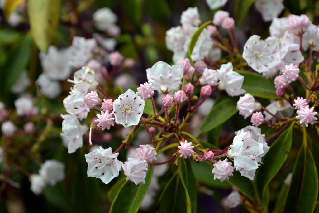 Mountain Laurel A Shade Tolerant Native With Beautiful Blossoms
