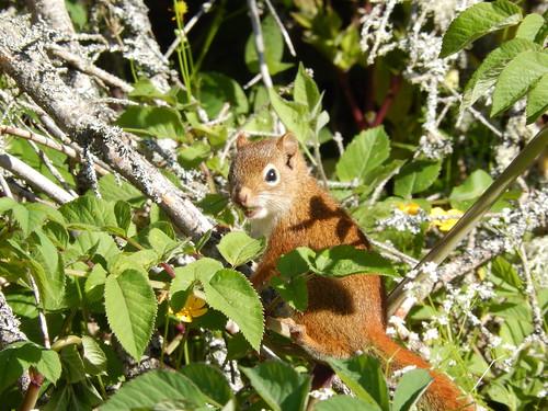 St Peters - eekhoorn