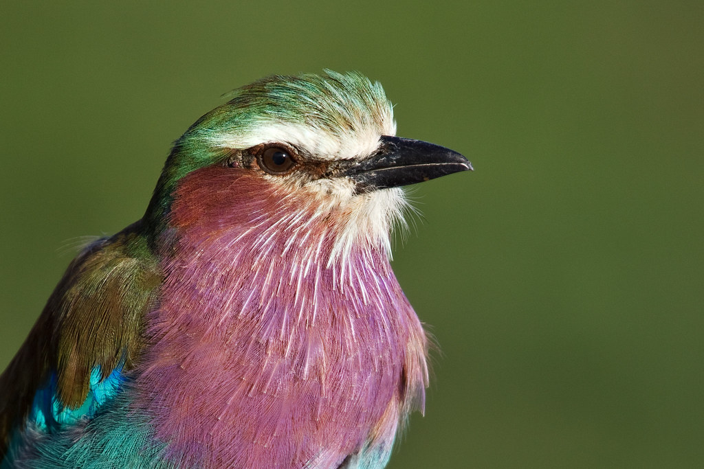 Portrait of a Lilac-Breasted Roller