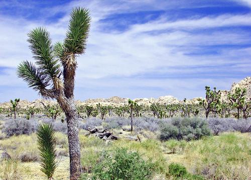 Desert Sky, Joshua Tree NP 4-13 | by inkknife_2000 (10.5 million + views)