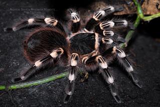 Acanthoscurria geniculata (8.5-9cm body, 22-23cm leg span) | by Arachnida Moments