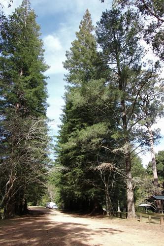 sequoiasempervirens sequoia redwood coastredwood tapintopsnationalpark wingham nsw australia cupressaceae australiasbiggesttrees outdoor tree plant