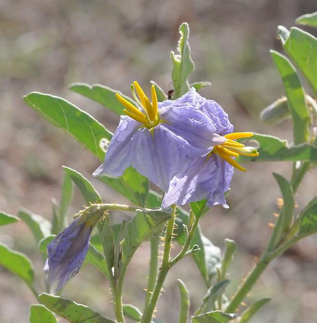 Silverleaf Nightshade, Solanum elaeagnifolium