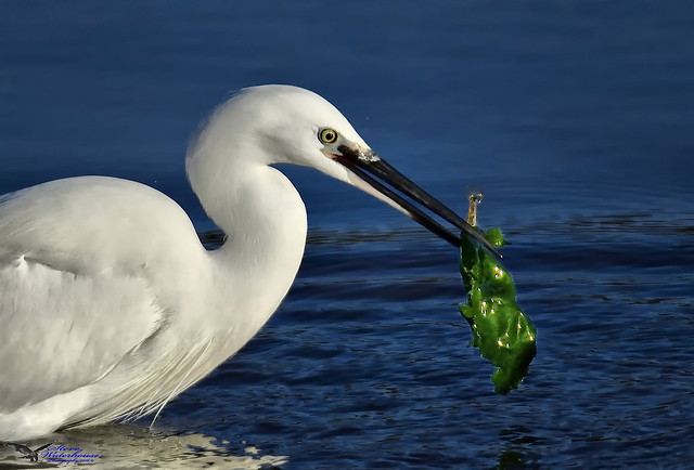 Little Egret with a fish and seaweed.(Sushi) (Explored).