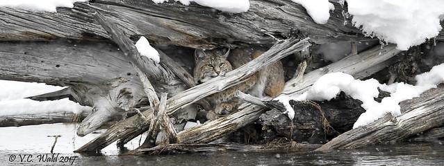 Bob cat in hunting blind (Explore)
