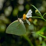 淡黃蝶(銀斑型) Catopsilia pomona (Fabricius, 1775)
