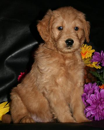 Goldendoodle Male #2 (now named Jack)   by eastick_east