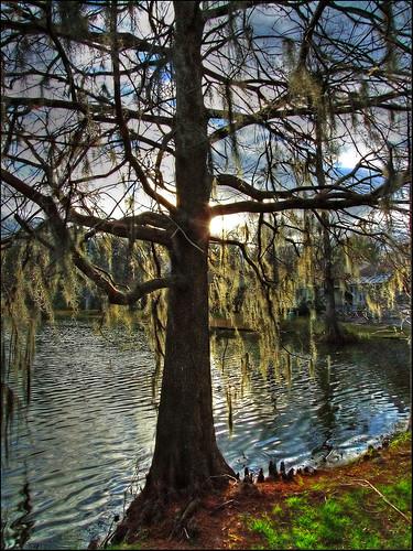 sunset tree rouge moss louisiana cypress baton