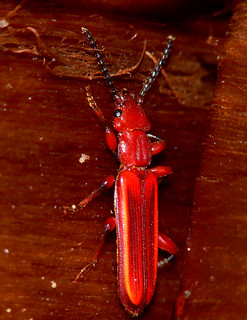 Red Flat Bark Beetle (Cucujus clavipes)   by BugMan50