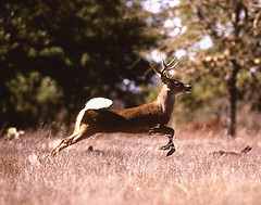 white_tail_deer | by Royalty-free image collection