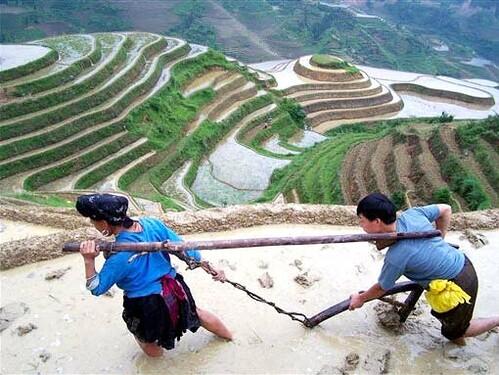 Campesinos Chinos Practican El Cultivo En Terrazas Entre L