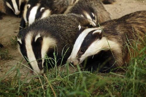 Badgers | by Tim Brookes