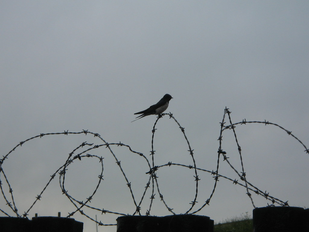 Bird On Barbed Wire Fence Jason Gillyon Flickr