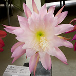 Epiphyllum Edith Johnson