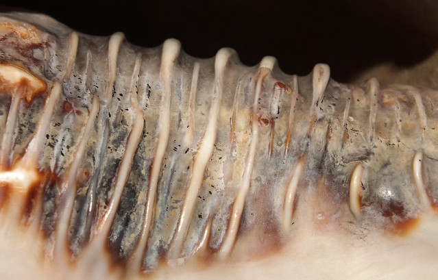 Queen helmet snail (Cassis (Cassis) madagascariensis) shell under side close up