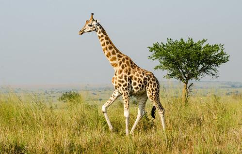 Giraffe | by jerang