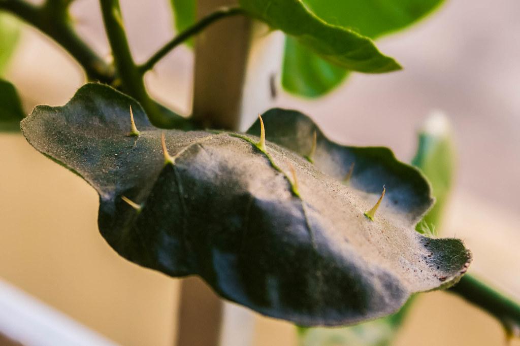 Thorn on leaf