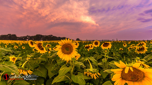 plants flower wisconsin clouds sunrise canon landscape place andrew sunflower slater landscapephotography veronawi discoverwisconsin travelwisconsin 5dmarkiii andrewslaterphotography popefarmconservatory