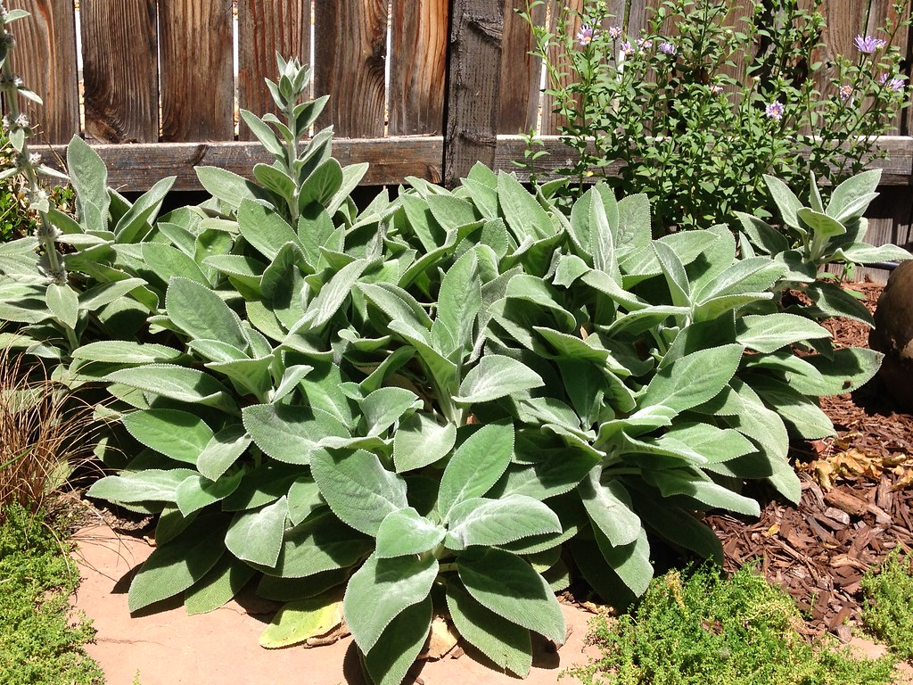 Picture of Live Lamb's Ear (Big Ears) aka Stachys bys. 'Helen Von Stein' Plant Fit 1 Gallon Pot