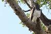 Martial Eagle (AF57) by naturelover2007