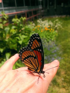 Monarch Butterfly landed on my hand #AnimalOSU