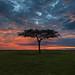 Image: Lone Acacia