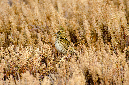 Bailarín chico | Correndera pipit (Anthus correndera) | by lalo_pangue