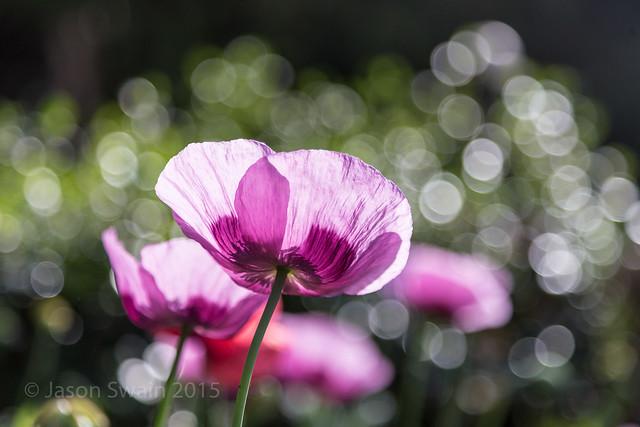 Poppy Bokeh - IMG_6020
