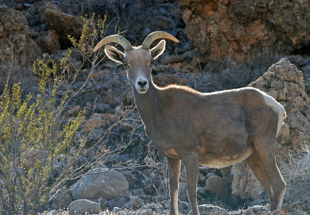 Desert Bighorn Sheep Near Lake Mead Nevada This Desert Bi Flickr