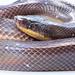 Mexican pythom by SVALDVARD