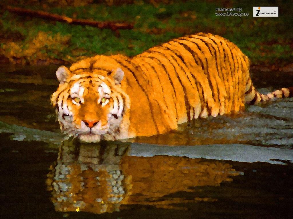 Tiger Wallpapers Hd Tiger Wallpaper Tiger Wallpapers Hd Ti Flickr