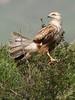 Long-legged Buzzard by Wild Chroma