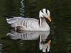 Bar-headed Goose (Anser indicus)-3811 by Stein Arne Jensen