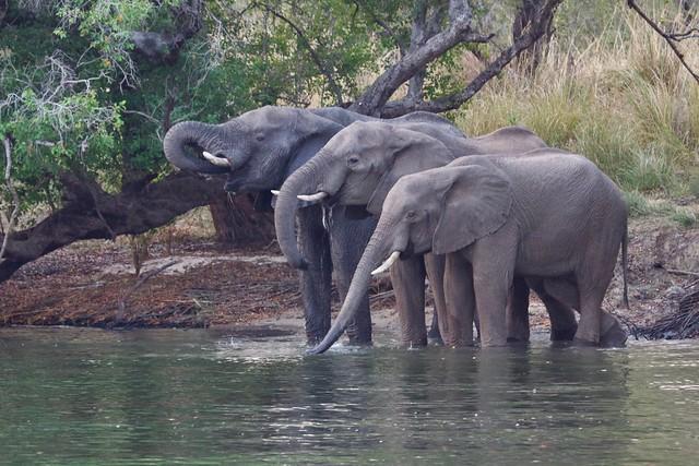 La soif / Chobe river